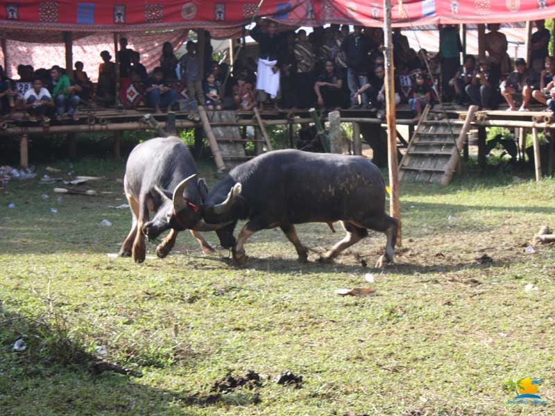 Tana Toraja Tour: Buffalo Sacrifice