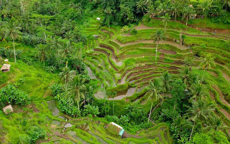 Planning a Trip to Indonesia: Bali Rice Field