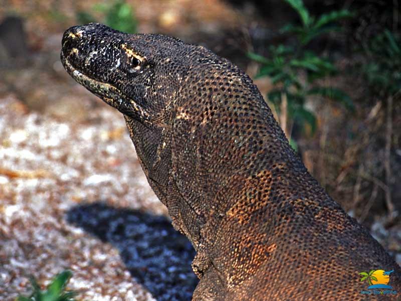 Komodo Island Honeymoon: Komodo Dragon